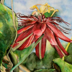 Heather Torres Art |Red Passion Flower | watercolor painting of red passion flower
